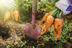 Close up of shovel and harvested carrots in garden