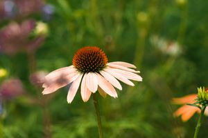 single pale pink echinacea flower in field with other flowers