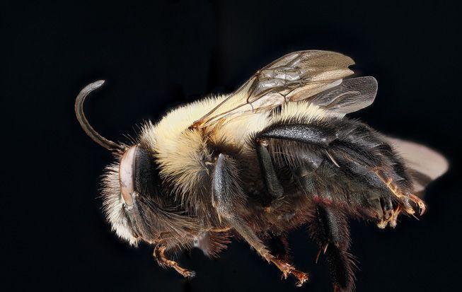 A Habropoda laboriosa, or blueberry bee