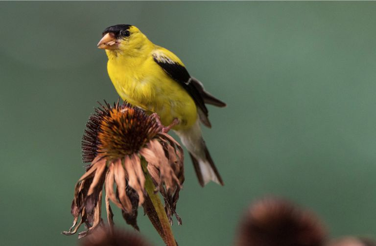 A goldfinch perched on a dead flower