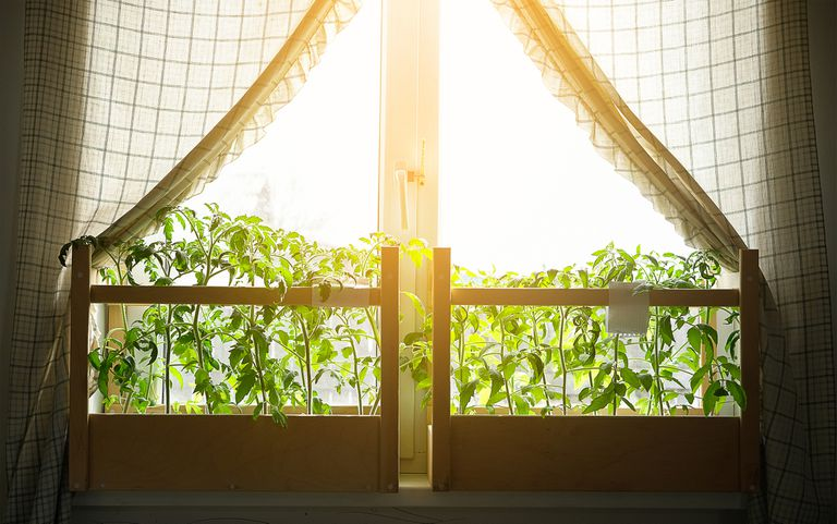 Young tomato seedlings on the balcony, on the windowsill. Growing organic vegetables at home. rural life.