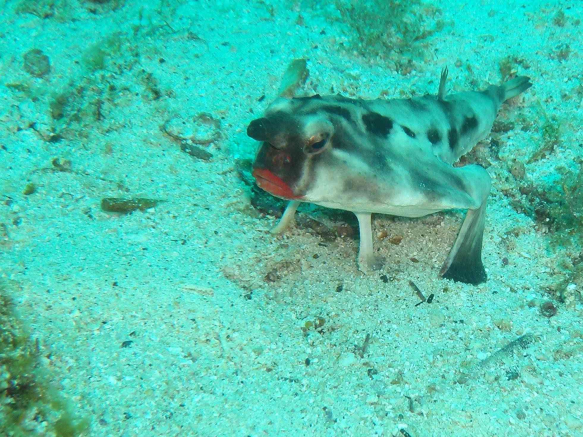 Red-lipped Bat fish in the water of the Galapagos