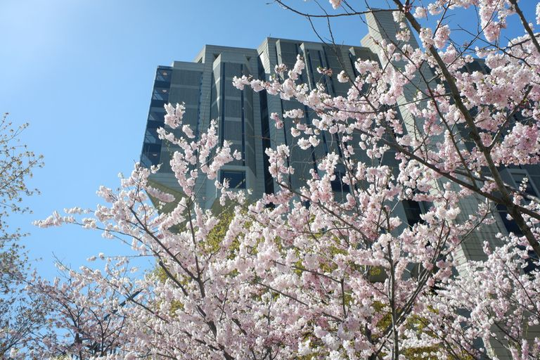Tree blossoms against a backdrop of a blue sky and skyscrapers