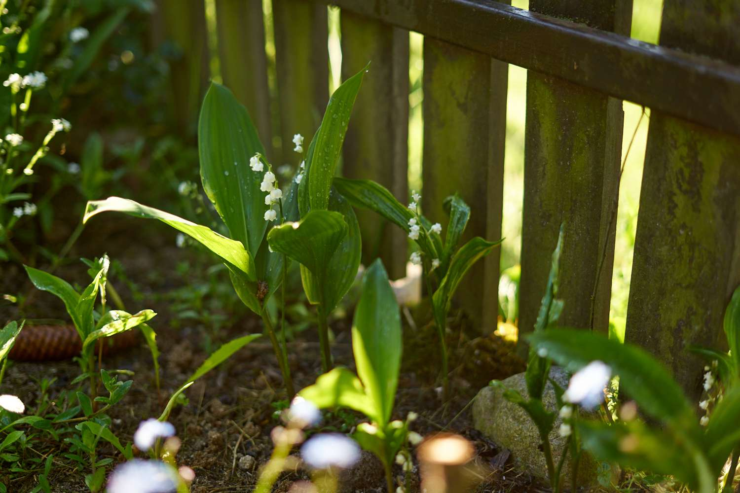 lily of the valley plant grows near wooden fence outside