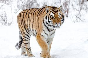 Siberian tiger walking in the snow