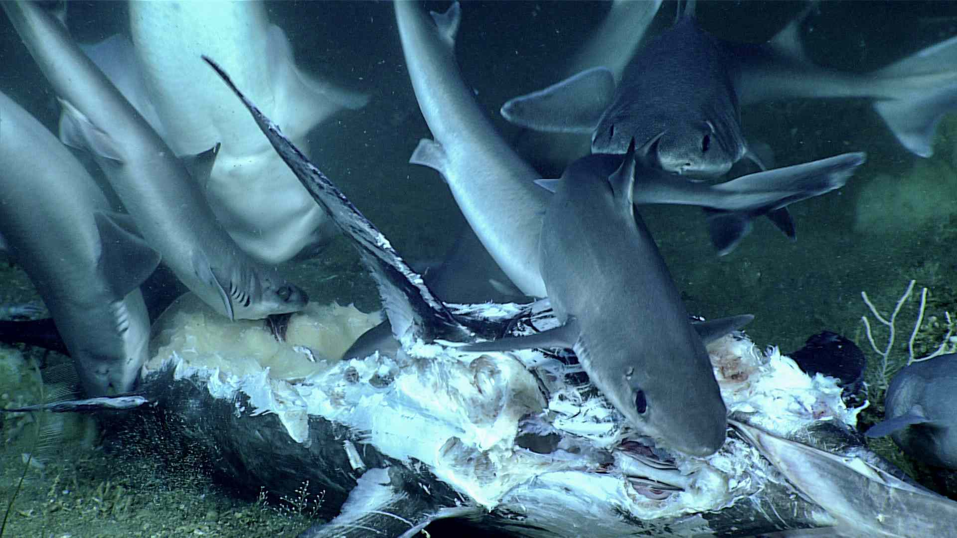 Dogfish eating the carcass of a swordfish.