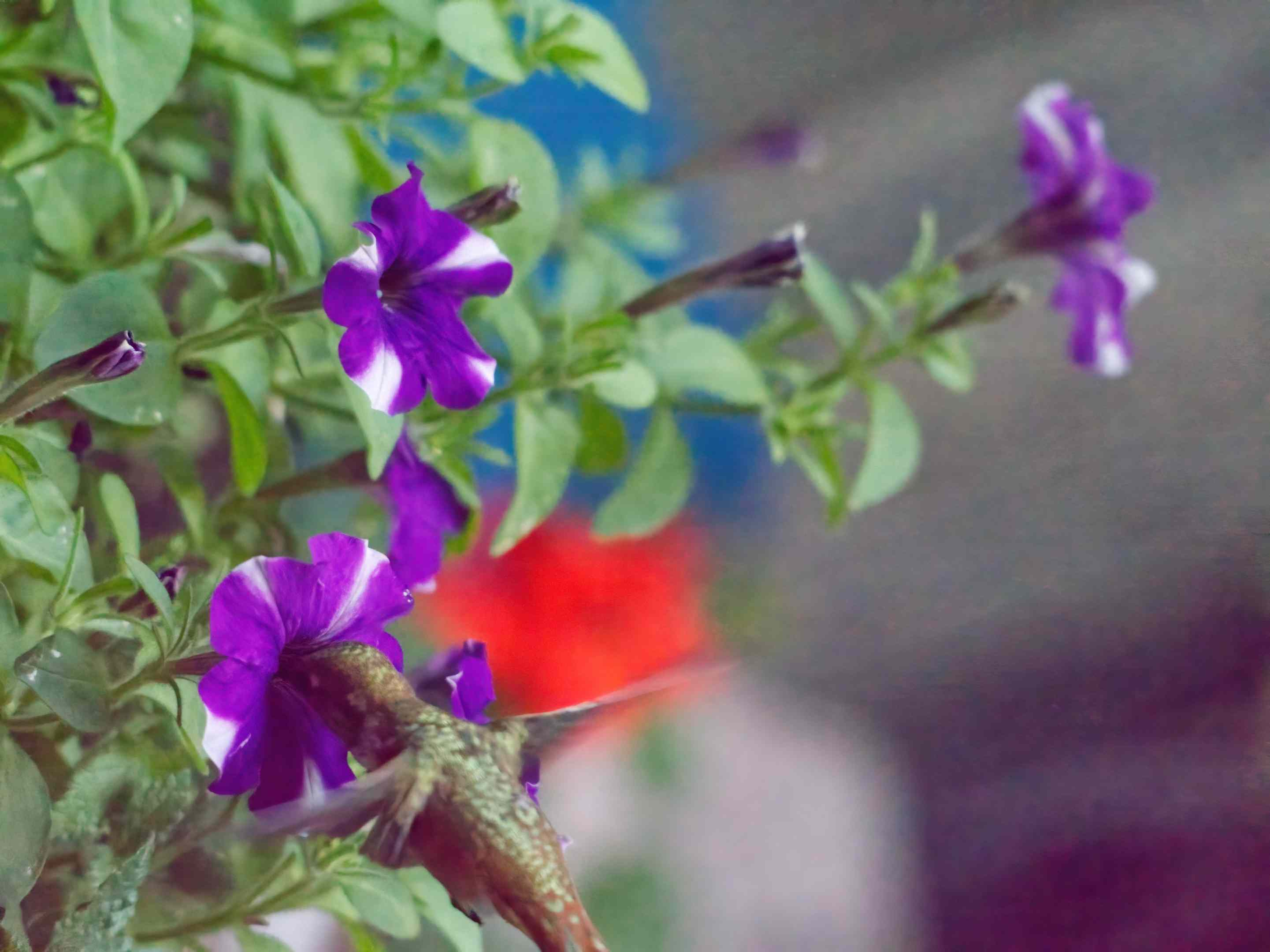 greenish hummingbird sticks beak in purple and white morning glory flower