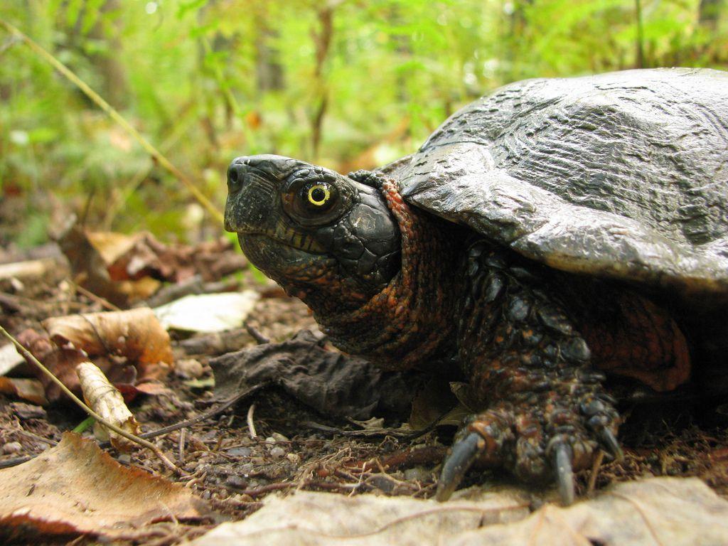 male wood turtle
