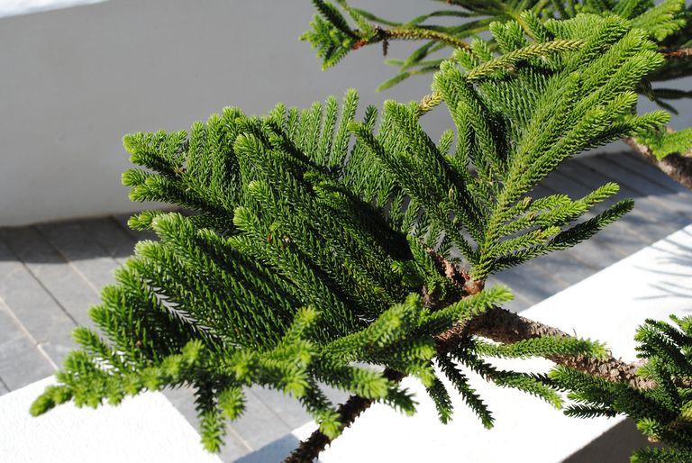 Detailed shot of a Norfolk pine indoors.