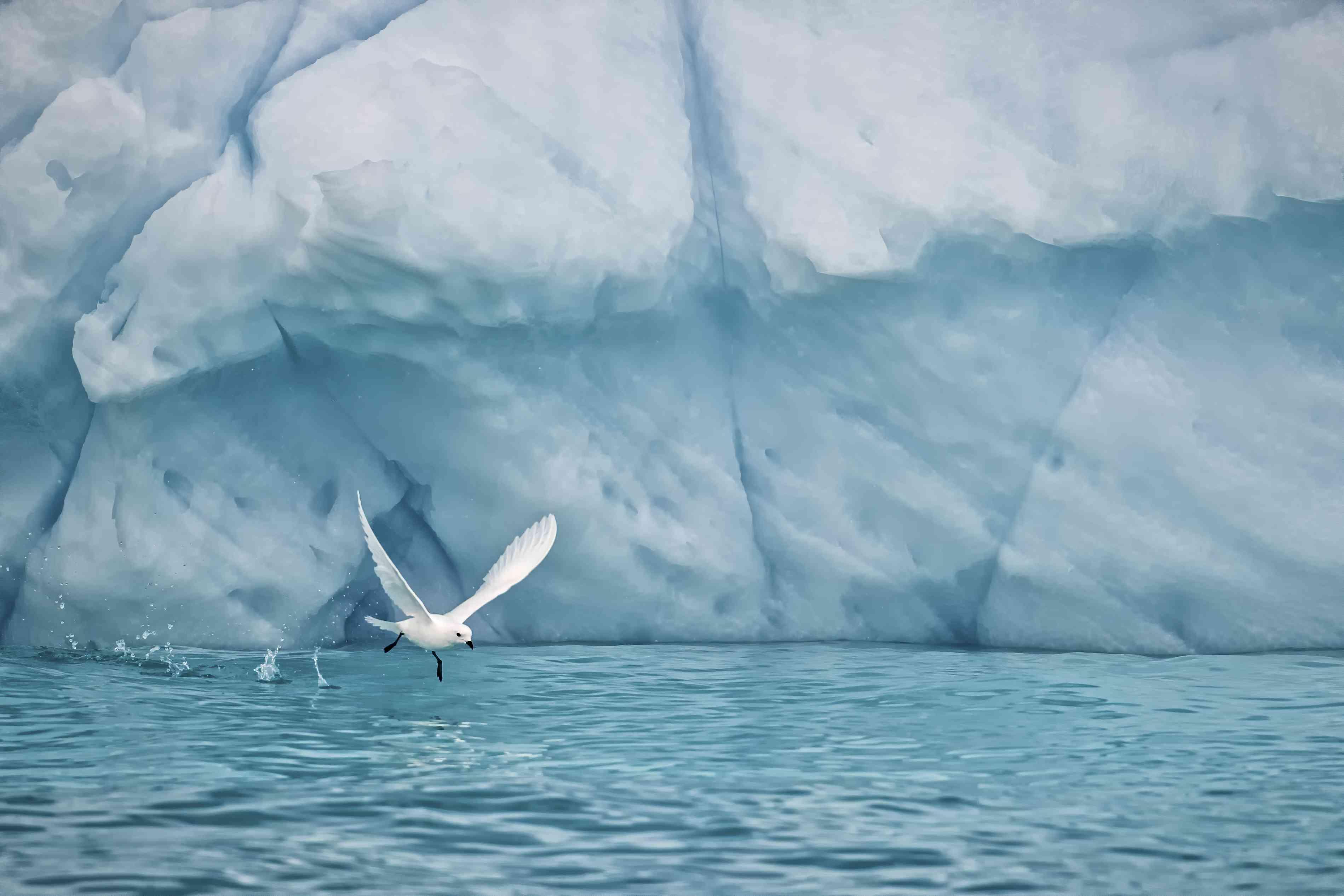 Snow petrel flying low over water in Antarctica.