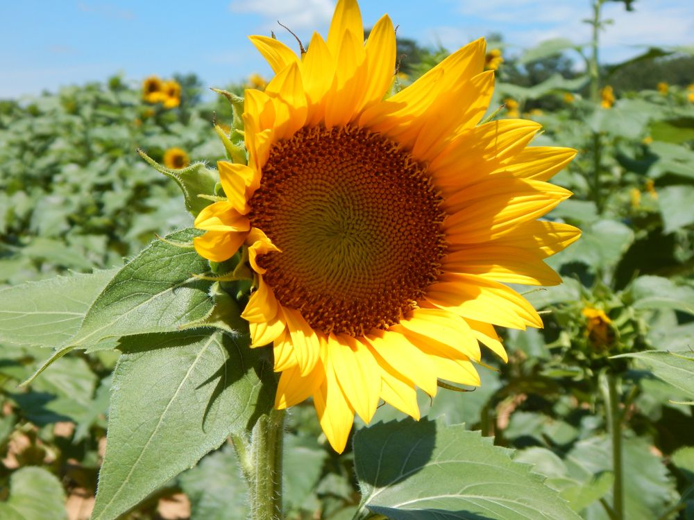 Sunflower bloom, a field of sunflowers in the background