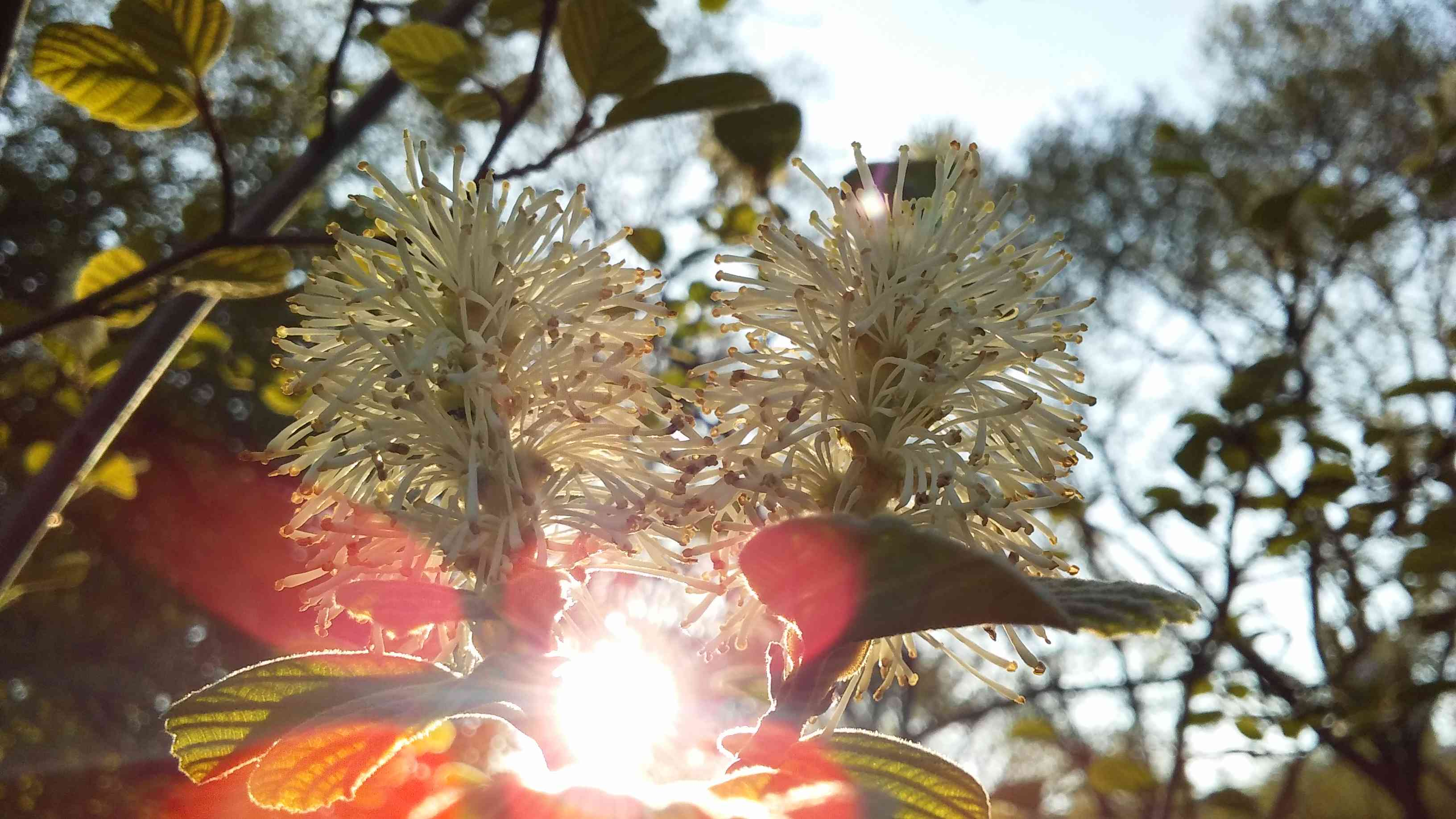 Fothergilla Plant Blossoming in Spring