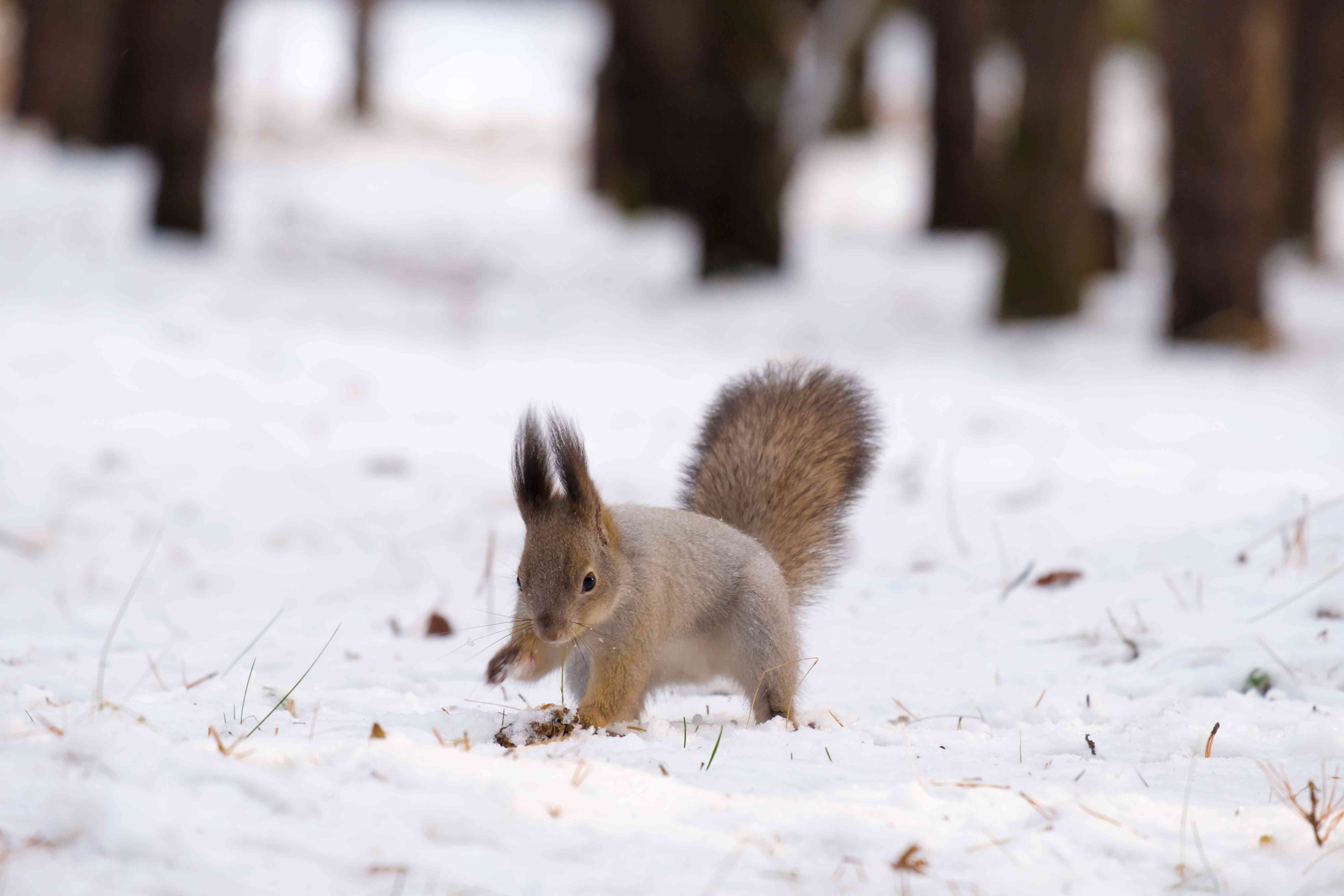 Eurasian red squirrel digging in snow