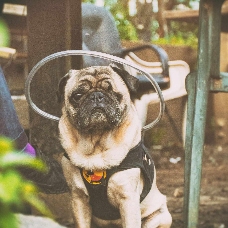 pug dog blind in one eye wearing halo