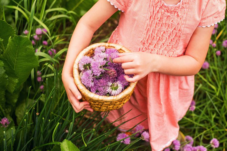 Girl collecting chive blossoms in a garden
