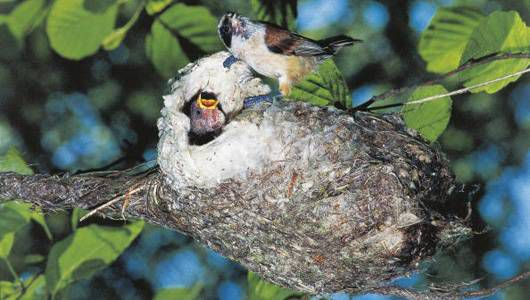Momma bird feeds young in nest