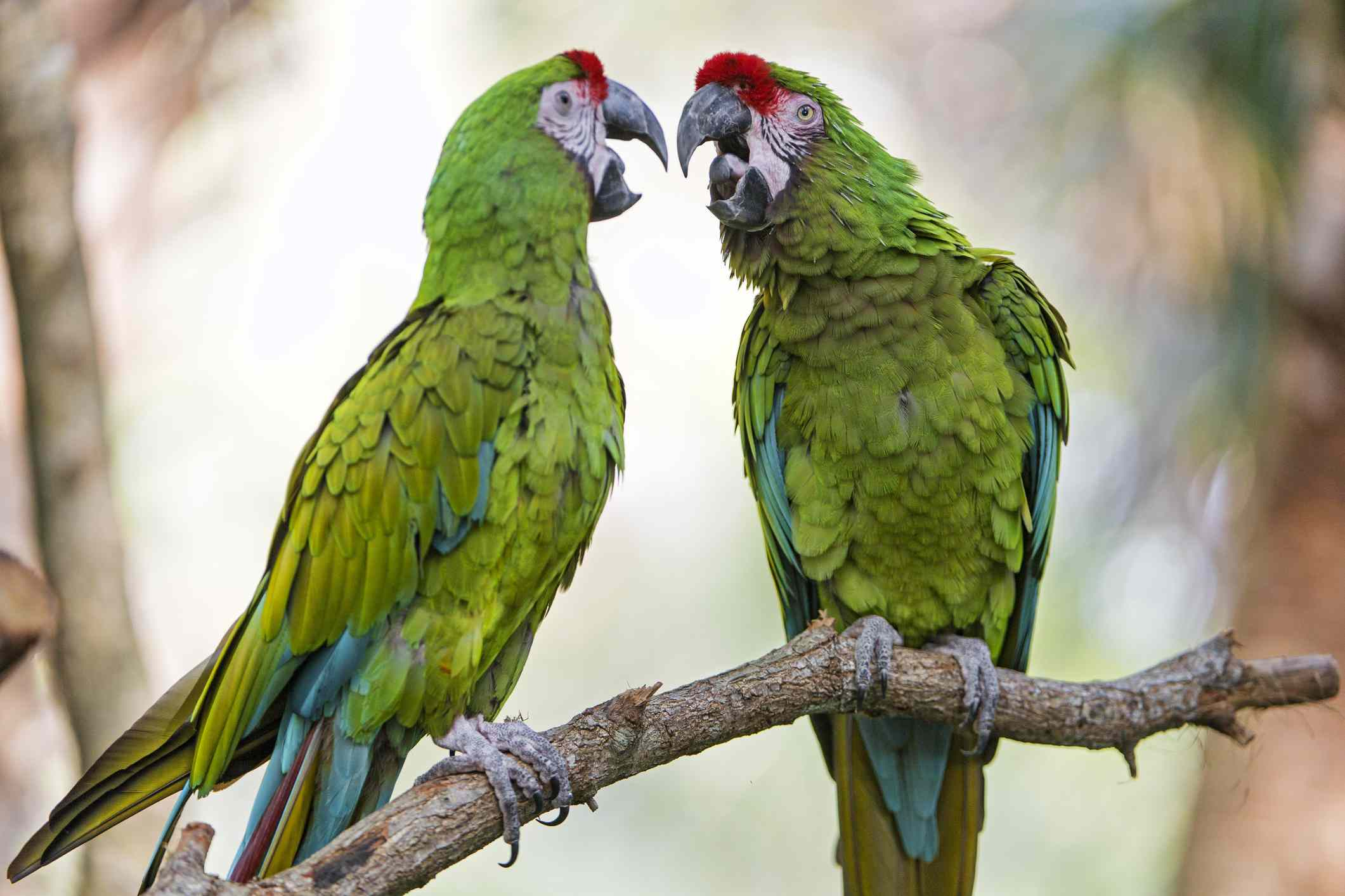 Two green macaws on a branch talking to each other