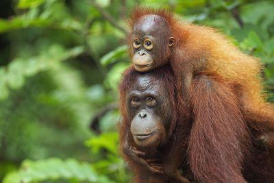 A Bornean orangutan female and her baby in Indonesia