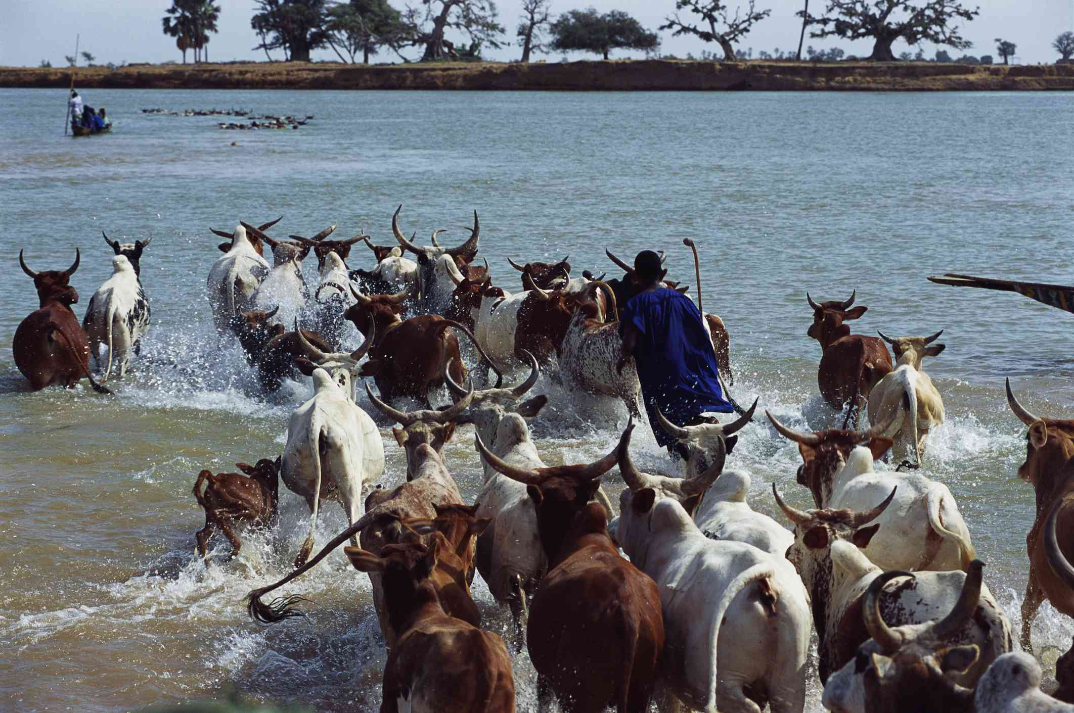 A herd of cattle with horns heads into a body of water