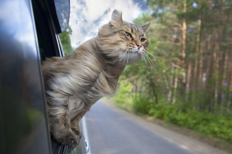 A cat sticking its head out of a moving car