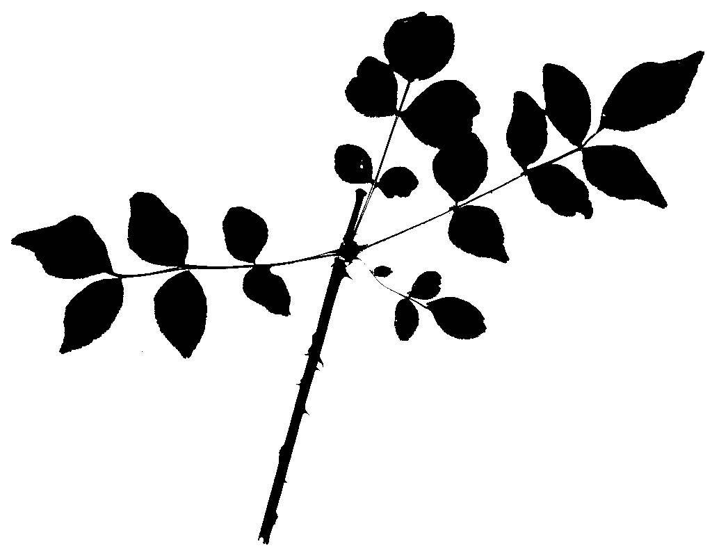 Silhouettes Prickly Ash Leaf