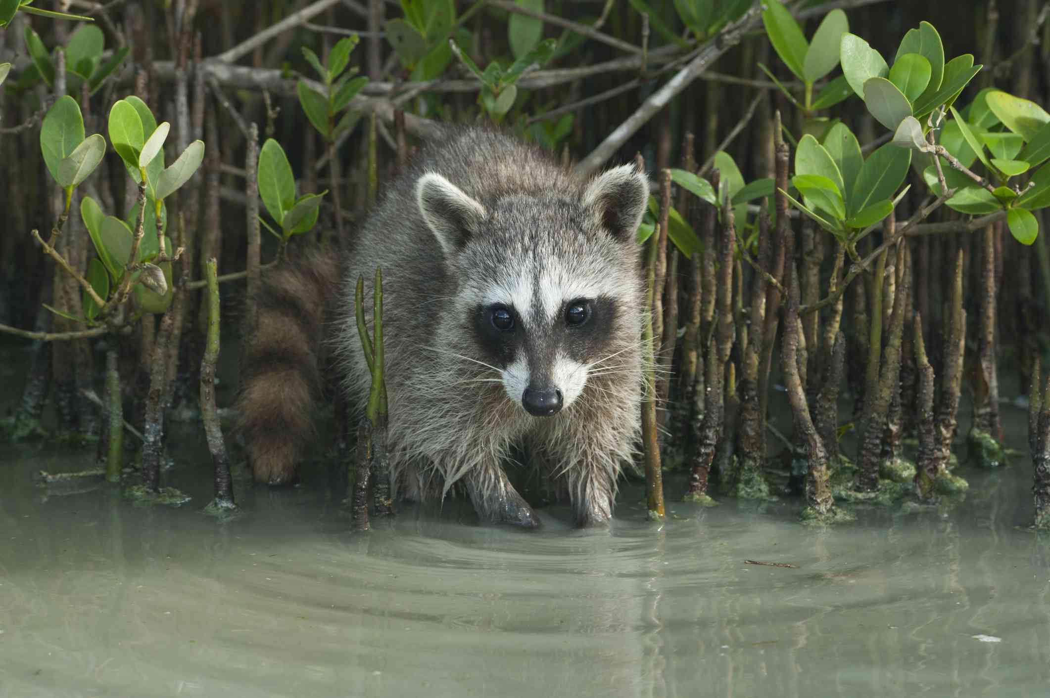 pygmy raccoon emerges from branches walks into water