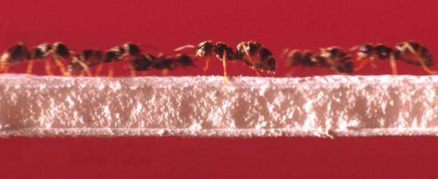 ants on a bridge