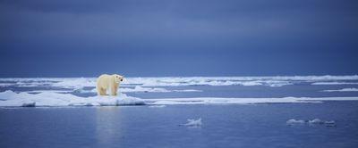 polar bear on sea ice in Svalbard, Norway