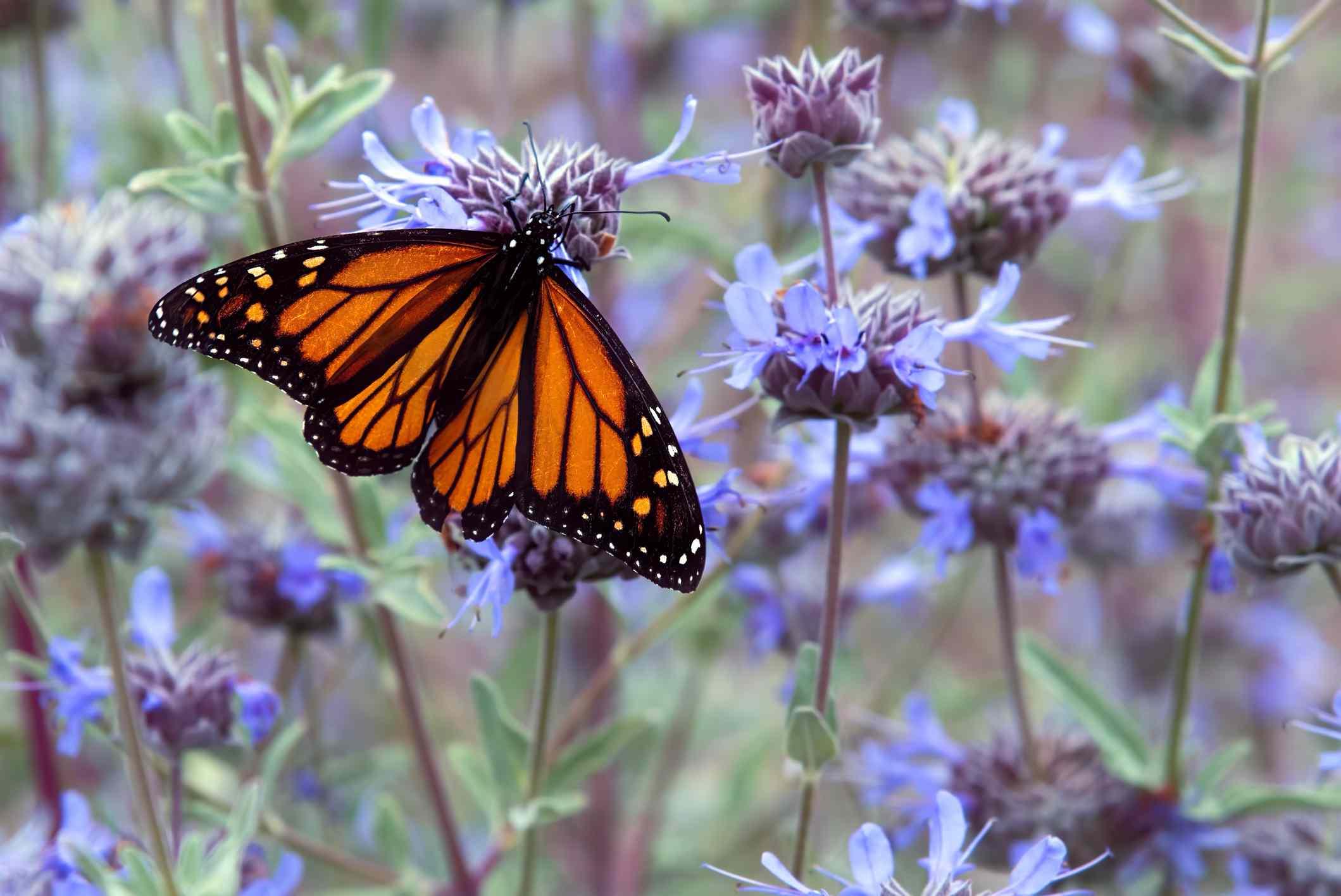 A monarch butterfly on a purple flower in a field of purple flowers