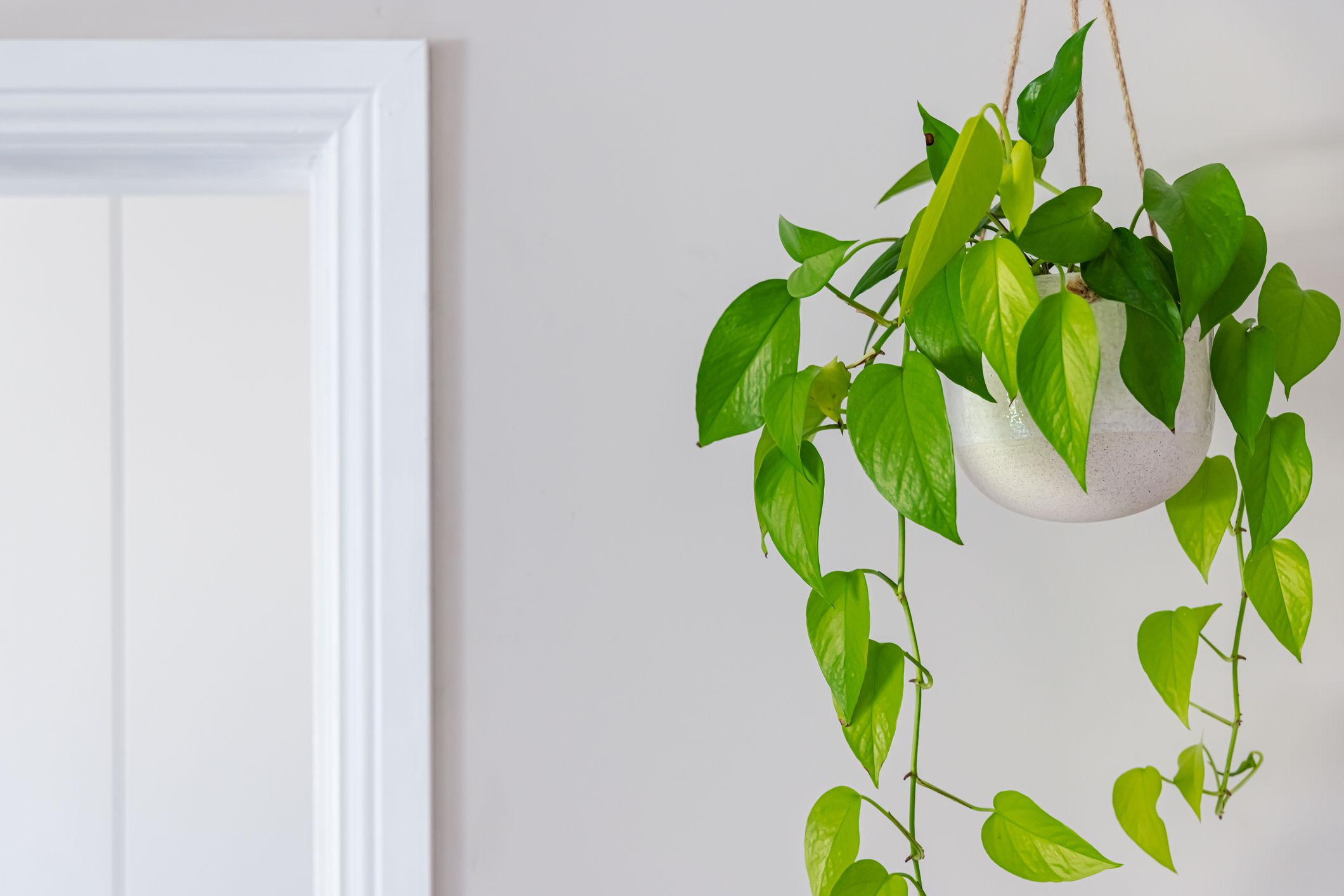 A golden pothos spills out of a hanging pot in a white room