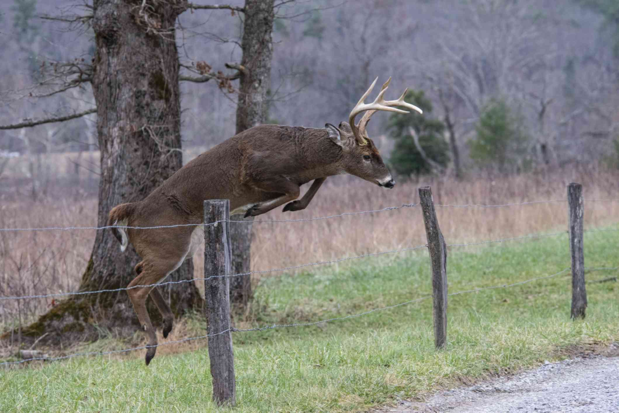 A white-tailed deer buck jumping over a tall fence