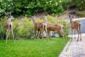 A family of deer eating roses in suburban garden.