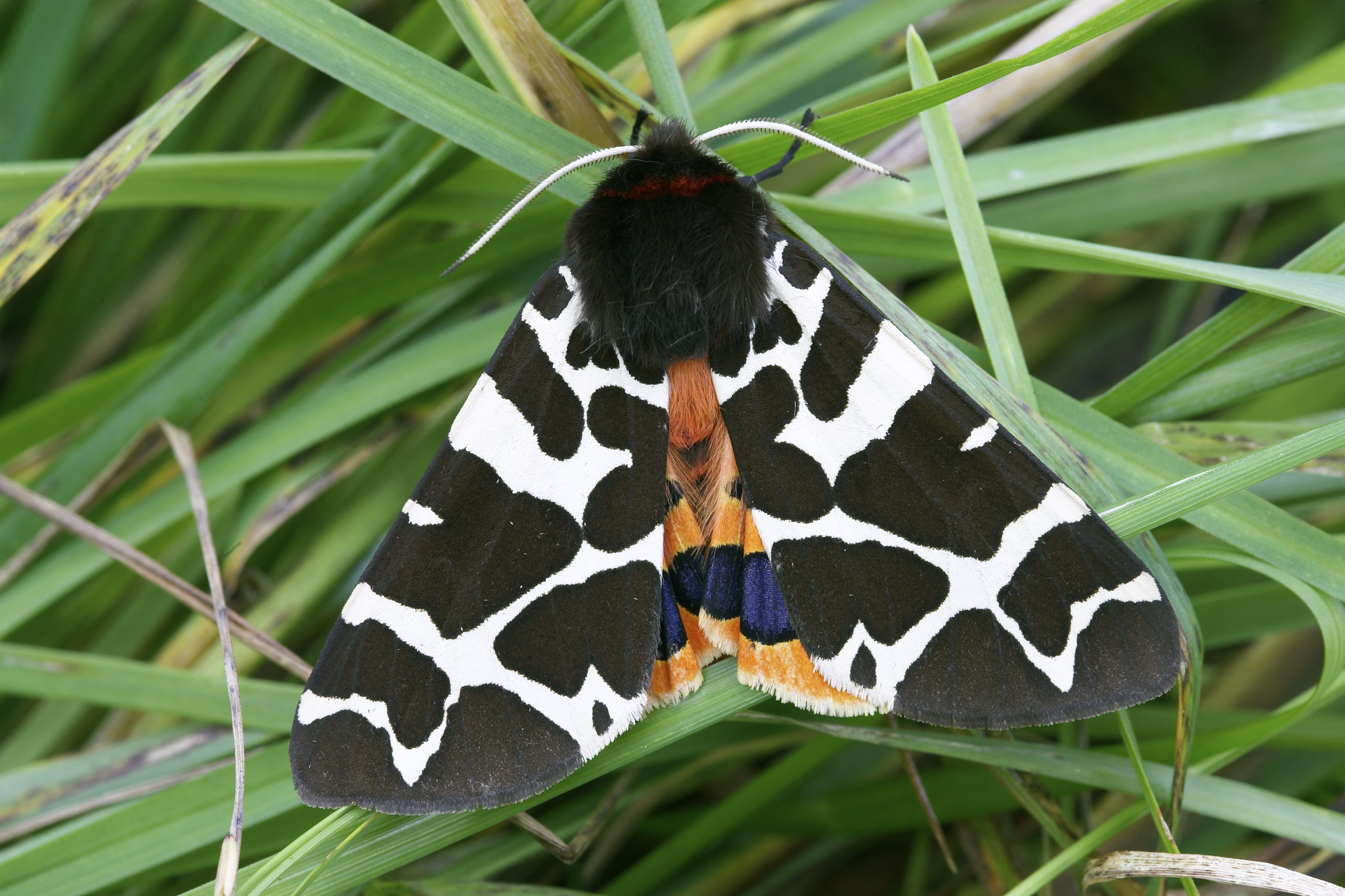 A moth with black and white spotted wings sits in the grass