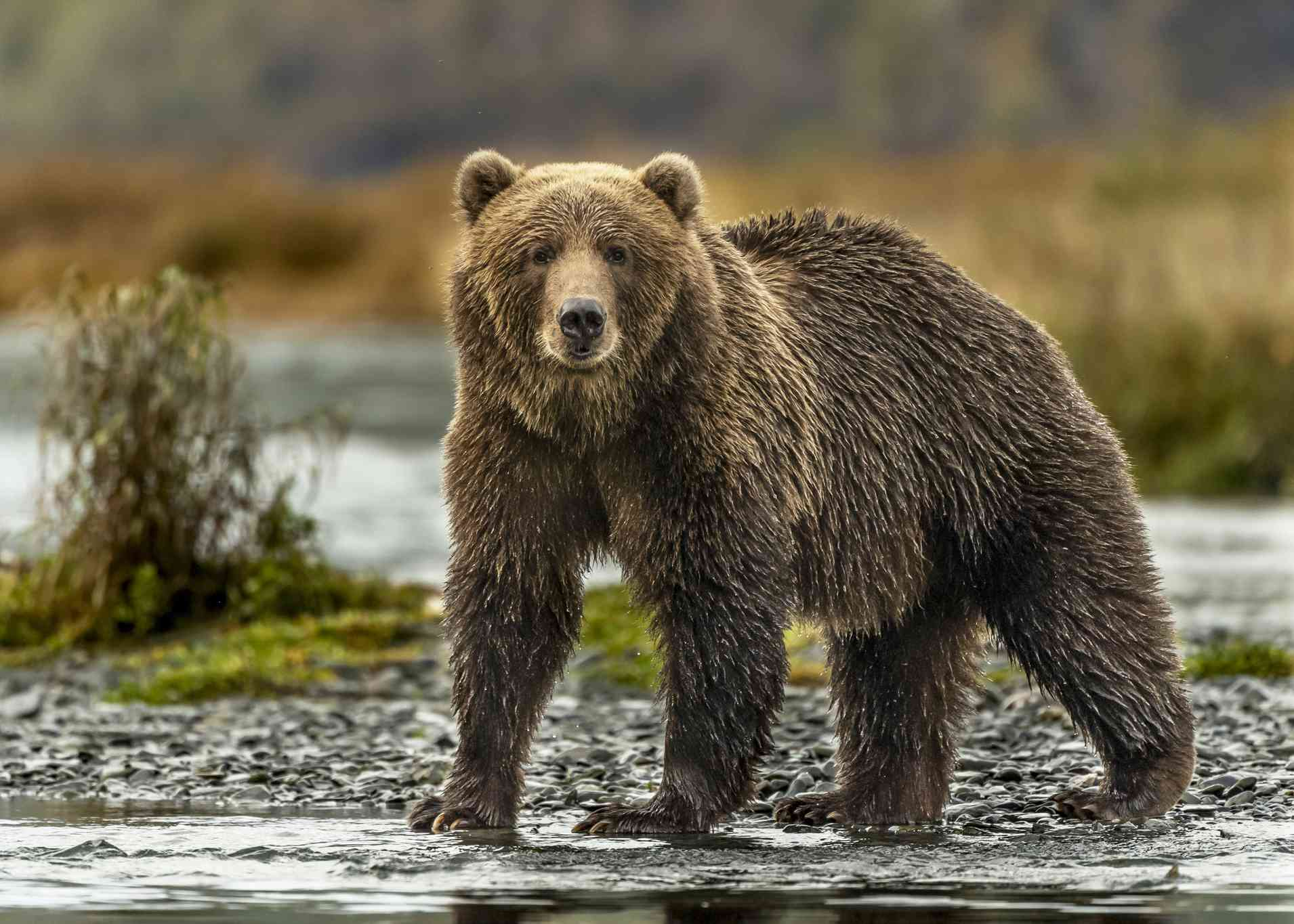 A brown, furry Kodiak grizzly bear standing at the water's edge.