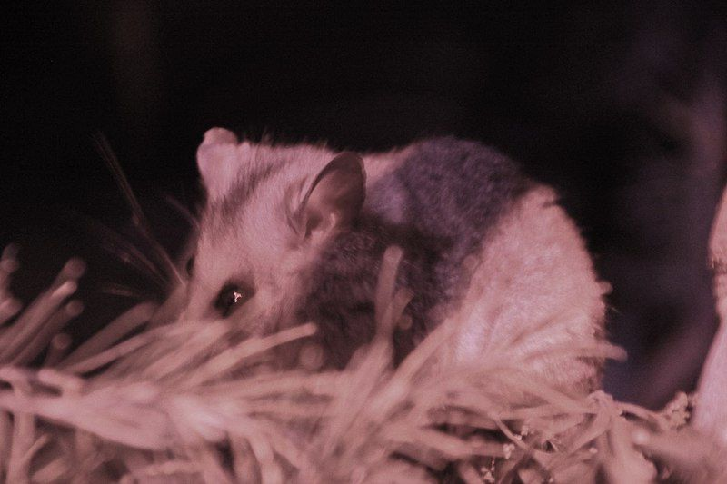 A mountain pygmy possum in some straw.
