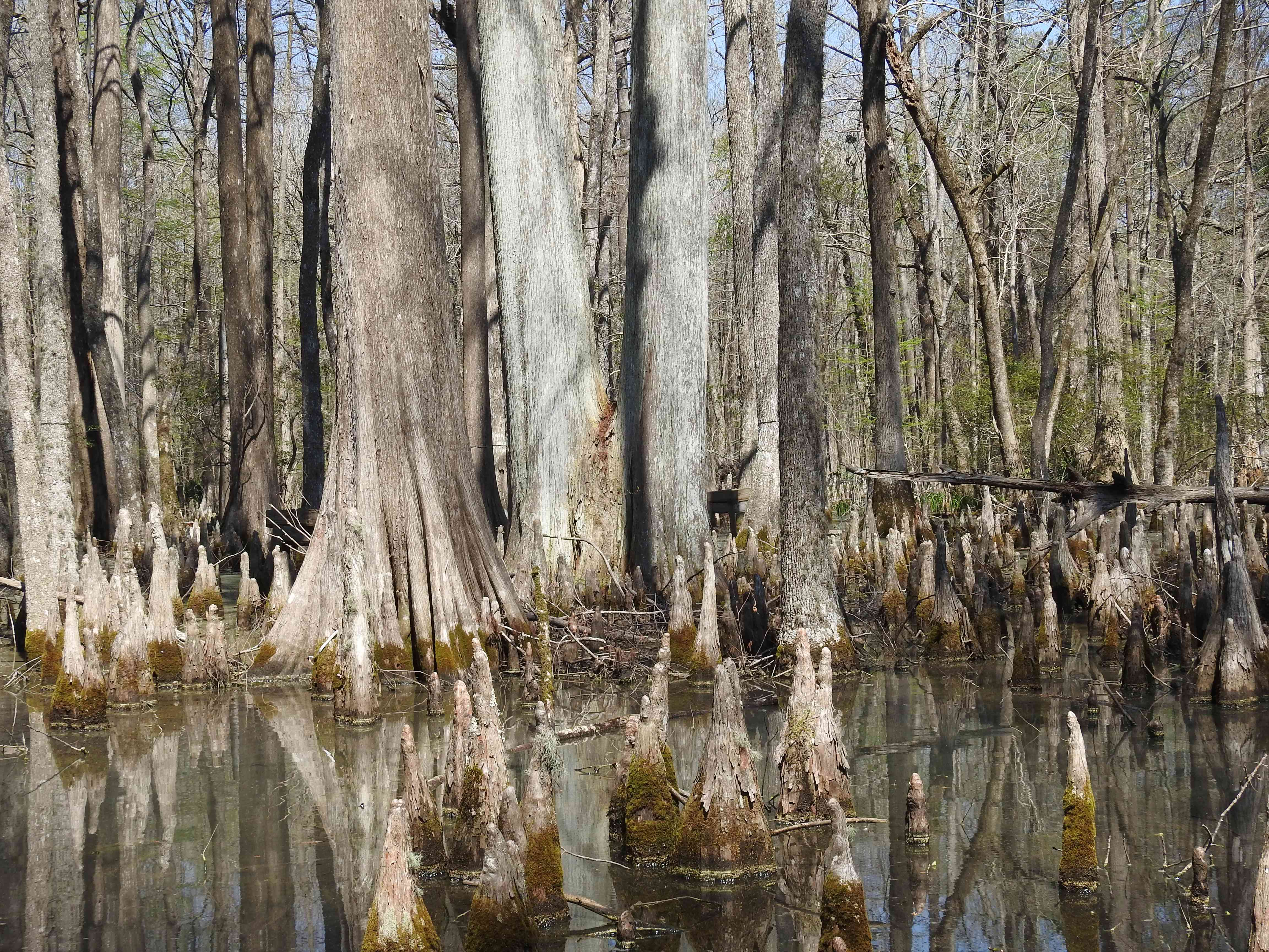 Trunks of healthy cypress trees growing in a swamp