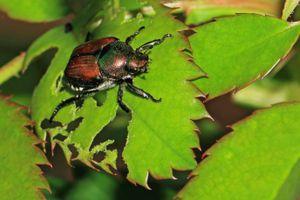 Japanese beetle on partly eaten rose leaf