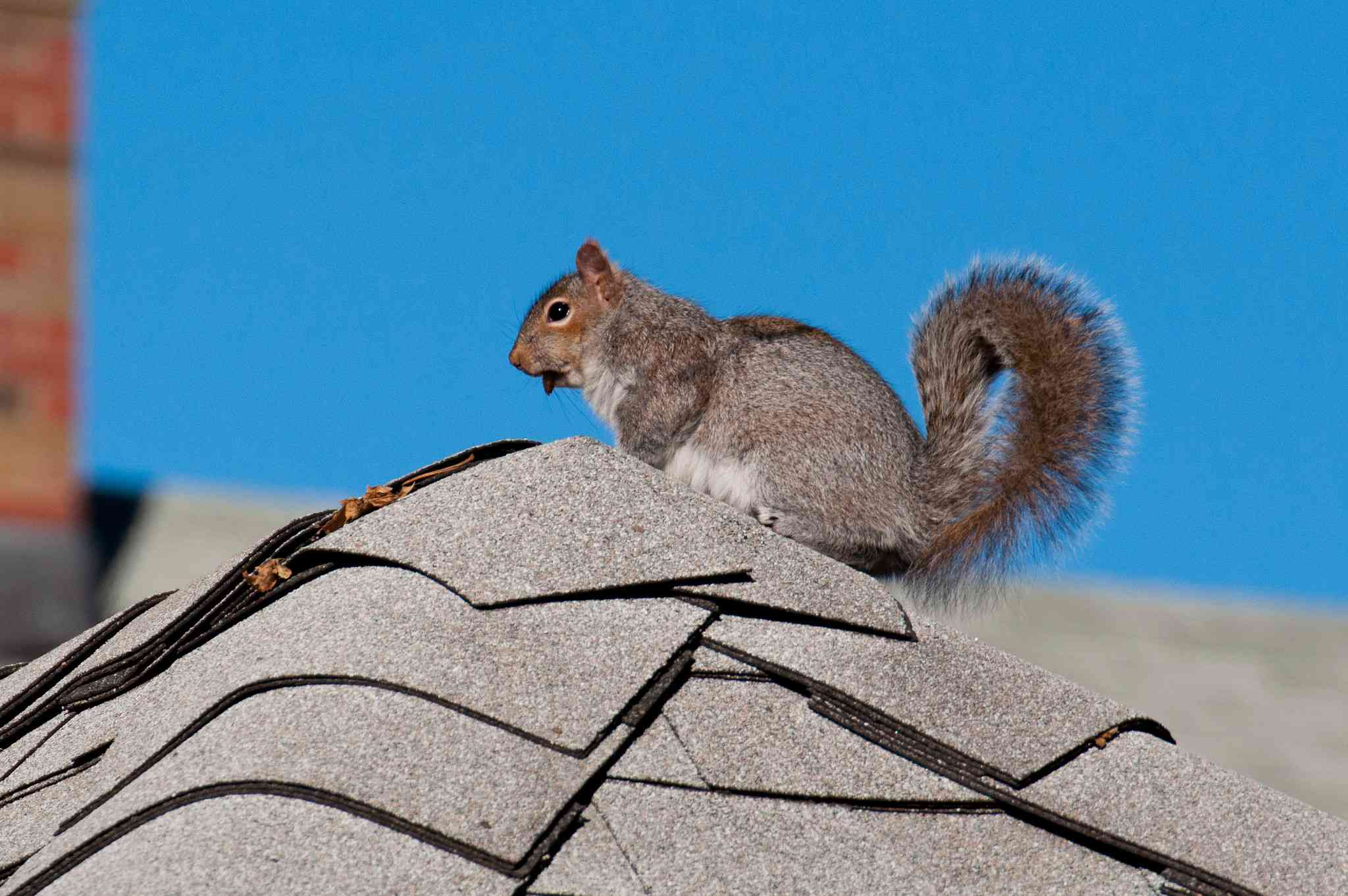profile of vampire squirrel perched on rooftop