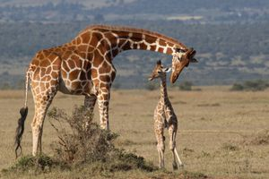 Mother and young reticulated giraffe in Laikipia, Kenya.