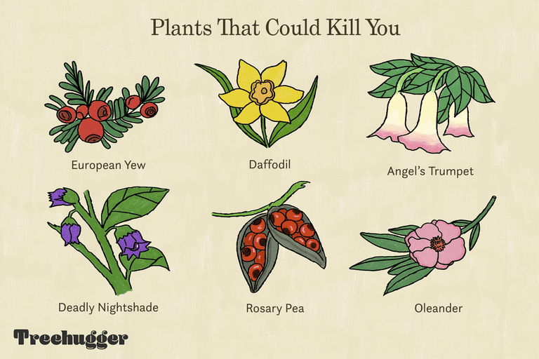 Plants that could kill you illustration daffodil