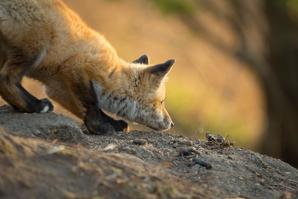 Fox kits spend a lot of time playing, but that play time teaches them life skills like how to hunt.
