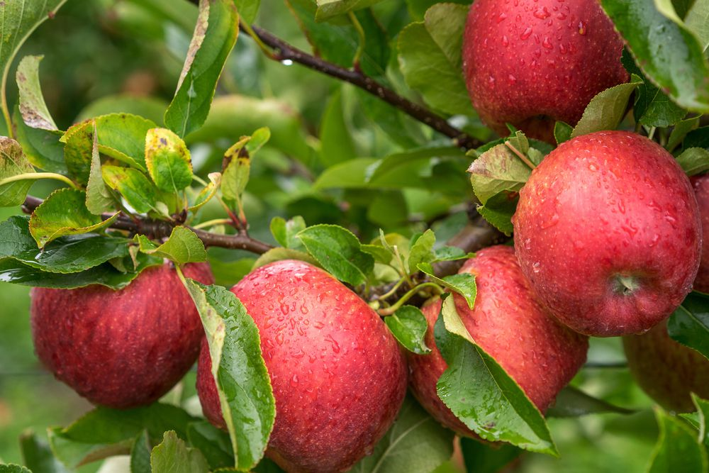 Depending on your age, one apple has about 15 to 20 percent of your daily fiber needs.