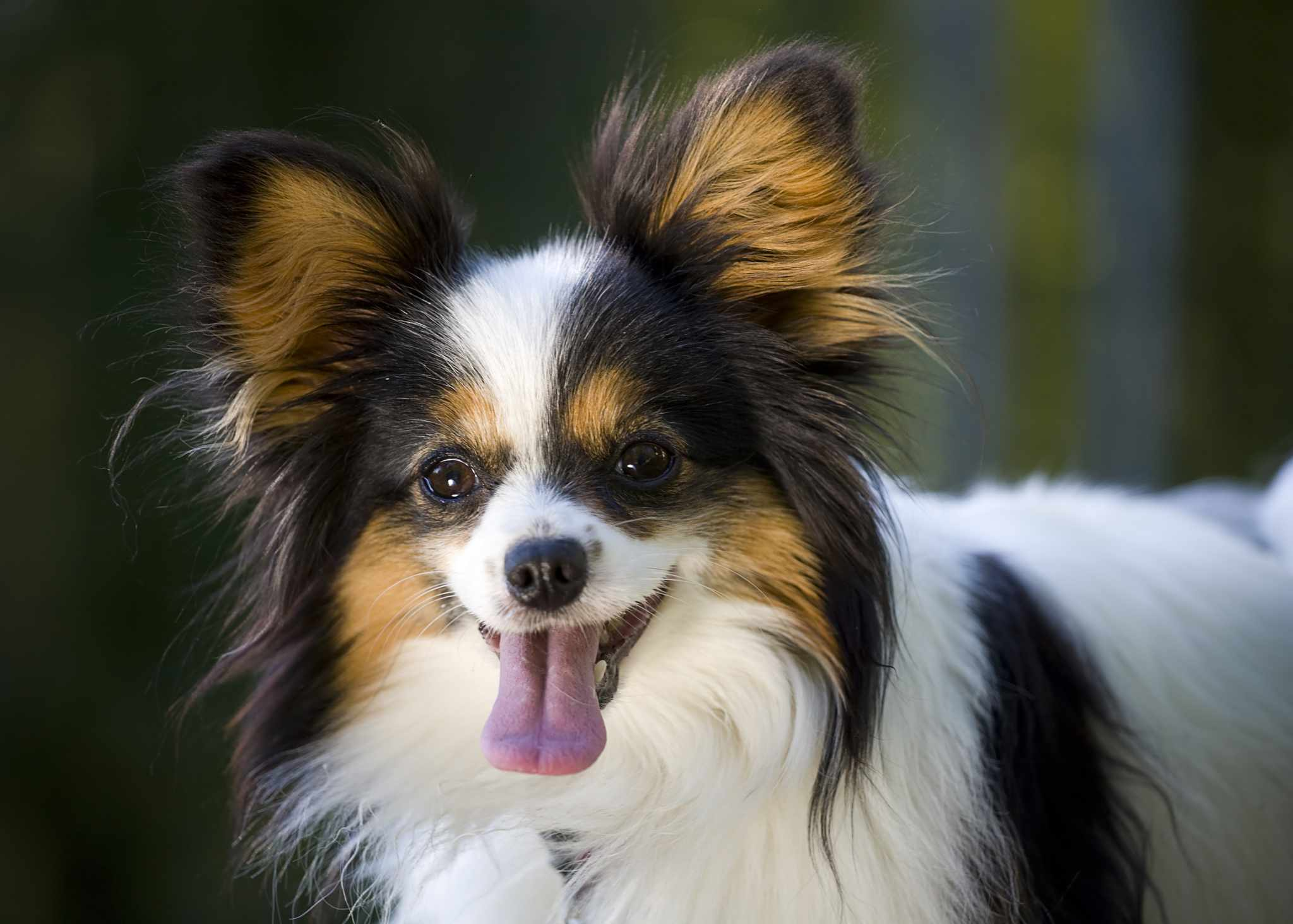 close up of papillon dog face with ears perked, tongue out, and smiling