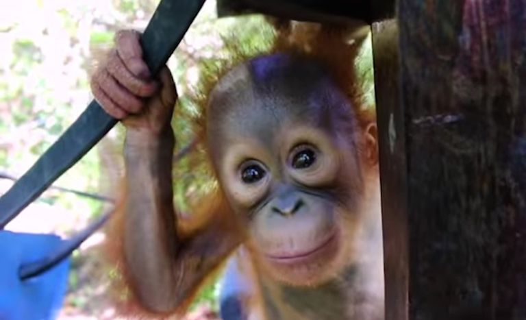Mira a estos adorables bebés orangutanes ir a 'Forest School' (video)