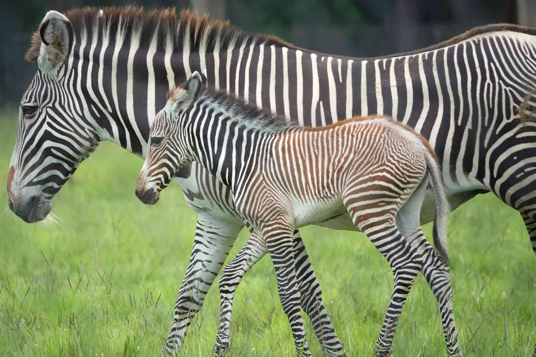 Grevy's zebra mother and foal