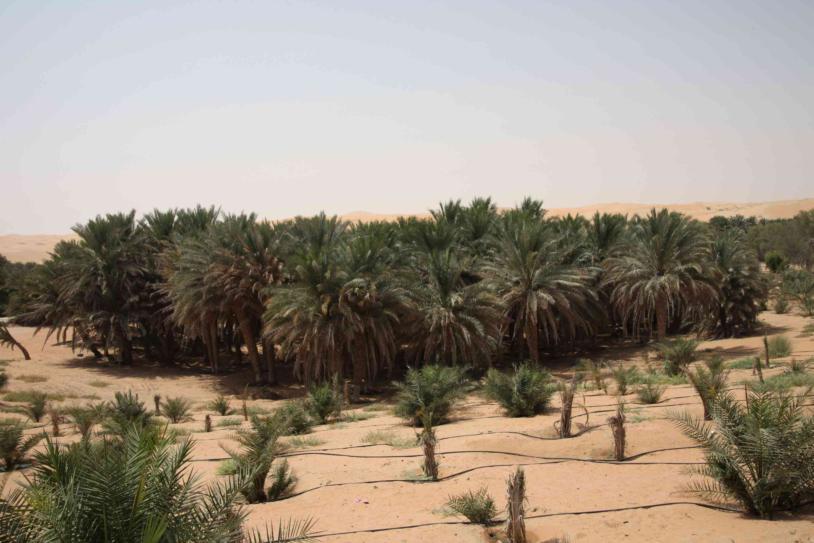 a large stand of date palm trees in the Liwa oasis, UAE